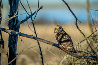 Short Eared Owls 01/17